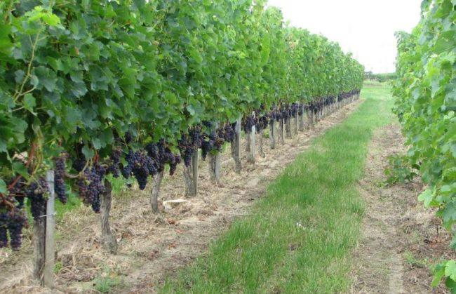 Промышленный виноградник по выращивания технических сортов для производства вин и напитков