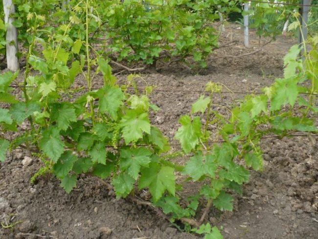 Куст винограда сорта Лучистый в начале весны на третий год после посадки