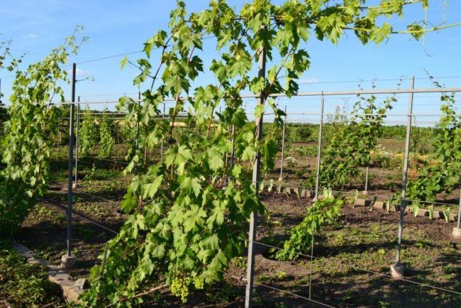 Виноградник с высокими одноплосткостными шпалерами и зеленые побеги молодой лозы