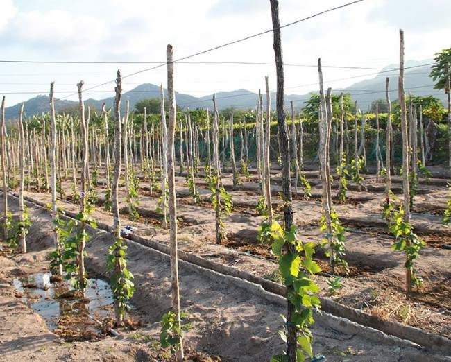 Высокие колья для подвязки молодых кустов винограда в промышленном питомнике