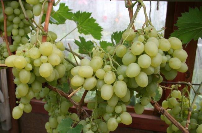 Кисти винограда столового сорта Настя с плодами, различными по размеру