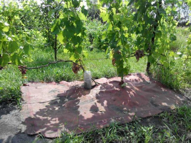 Куст винограда на шпалере и кусок плотного дермантина на поверхности земли