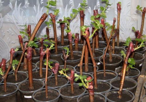 Укорененные черенки винограда Зилга