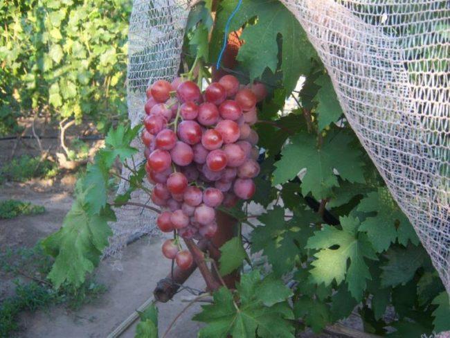 Крупная гроздь гибридного винограда Воевода на ветке и защитная сетка от птиц