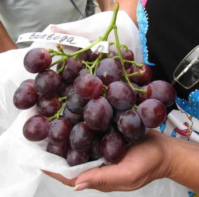 Ветвистая кисть столового винограда сорта Воевода в руках садовода