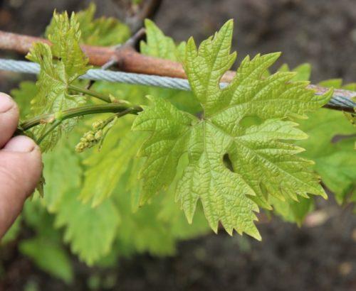 Внешний вид виноградного листа гибридного сорта Воевода