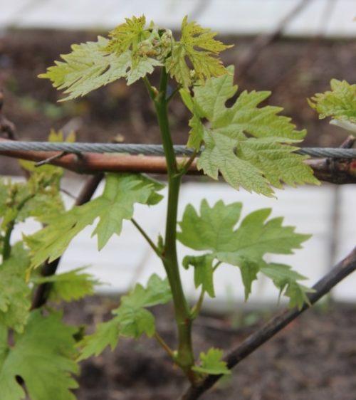 Молодой побег винограда с листьями разрезной формы