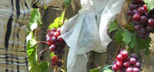 Плоды сорта винограда Воевода на кусте рядом с человеком