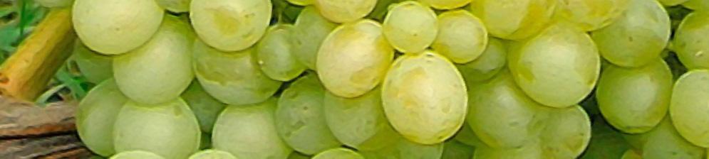 Виноград Белый Восторг спелые плоды вблизи