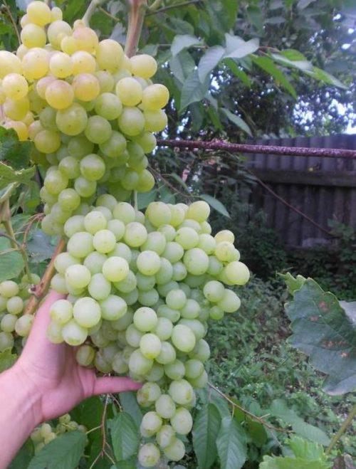Две объемные кисти столового винограда гибридной формы Белый Восторг