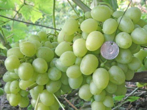 Виноградные кисти сорта Восторг Белый столового предназначения и монетка на нитке