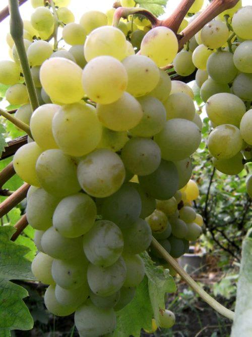 Гроздь столового винограда сорта Восторг Белый с ягодами бело-золотистого цвета