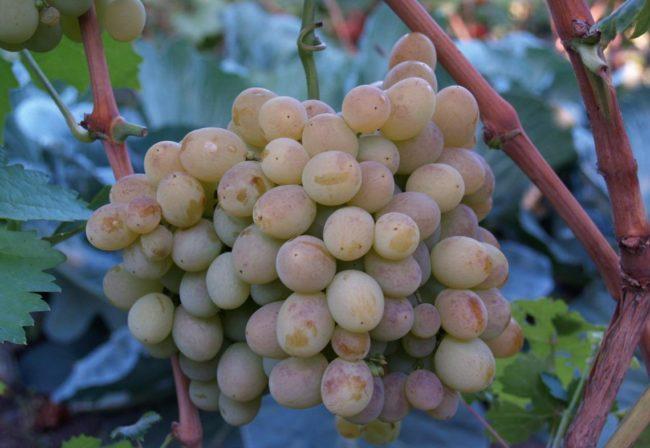 Гроздь красного сорта винограда Восторг на лозе