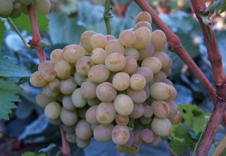 Виноград восторг фото описание и характеристика