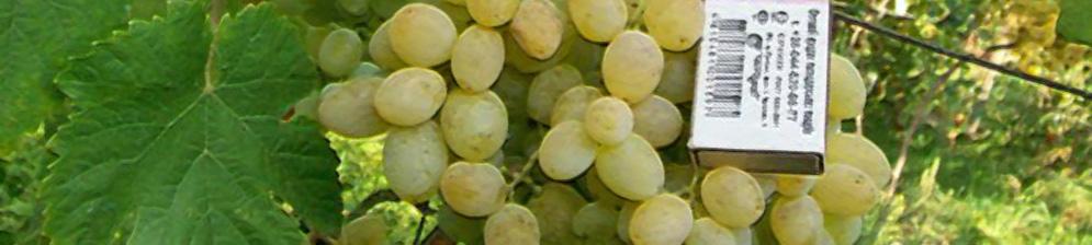 Спелые плоды винограда Восторг вблизи и спичечный коробок