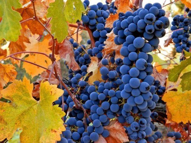 Ветви синего винограда в жёлтой листве