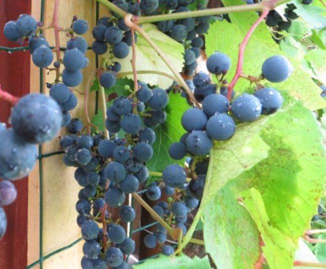 Ягоды винограда Зилга вблизи на лозе