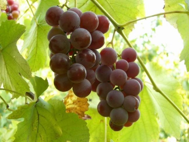 Созревшие розовые грозди винограда Лидия