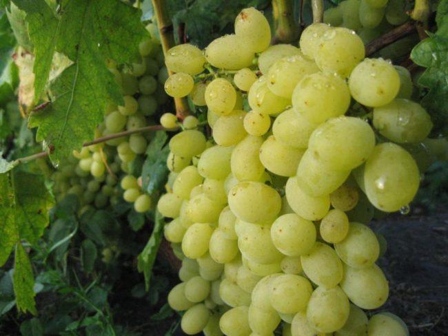 Янтарные ягоды виноград сорт Восторг мускатный вблизи