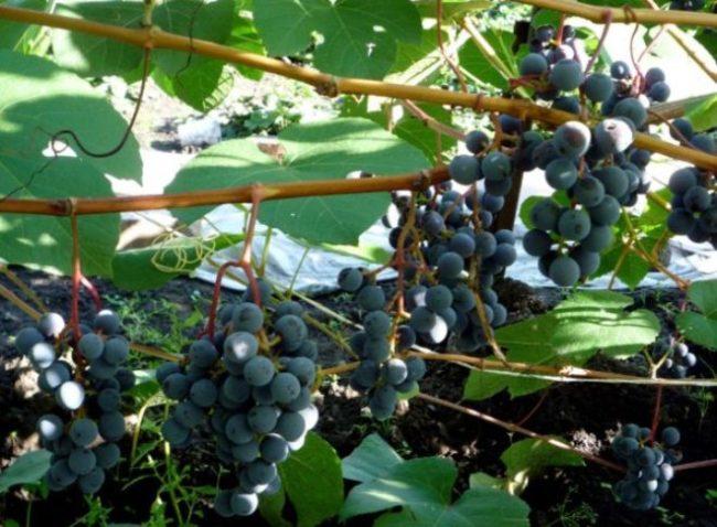 Сформированные грозди с ягодами винограда Зилга