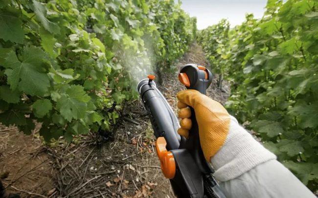 Человек в оранжевых перчатках опрыскивает виноградник