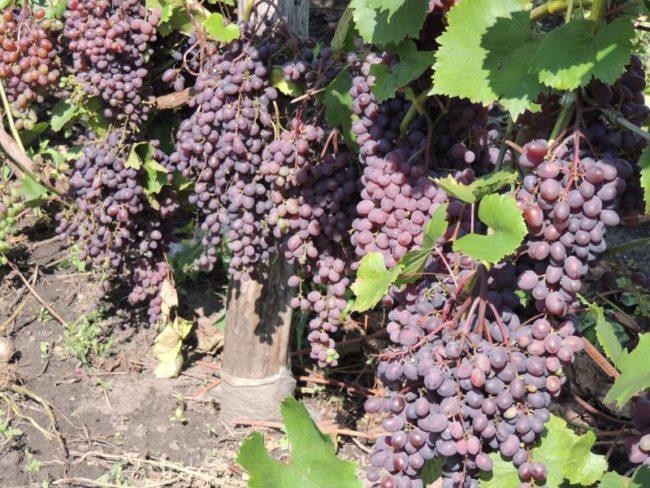 Куст винограда Кишмиш Запорожский, усыпанный созревающими гроздьями ягод