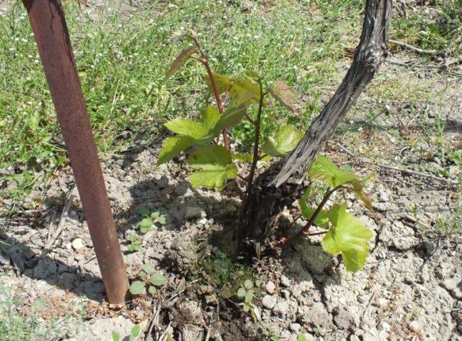 Больной куст винограда с новыми побегами и серым наростом на стволе