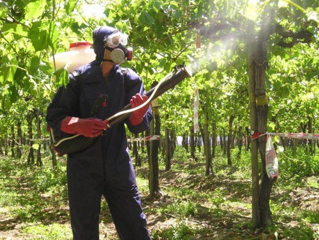 Мужчина в защитном костюме опрыскивает виноградник
