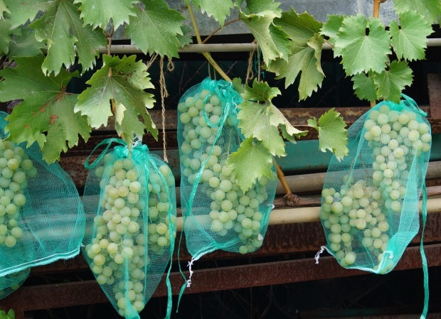 Грозди спелого винограда в мешочках для защиты от насекомых-вредителей
