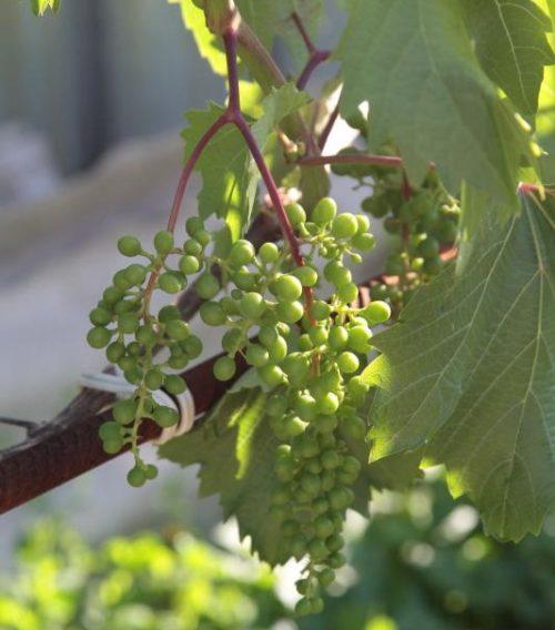 Кисть винограда сорта Дружба с завязями зеленых плодов