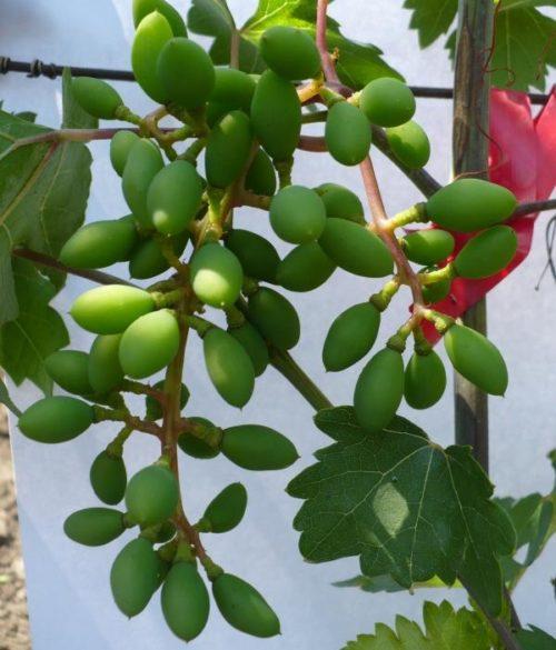 Завязь виноградных плодов сорта Эталон, привитого на старый куст