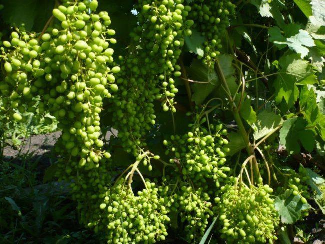 Завязи плодов столового сорта винограда без нормированной нагрузки