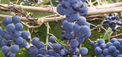 Спелые плоды винограда Зилга кисти на кусте