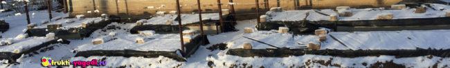 Зимовка молодых побегов под укрытием под снегом виноград