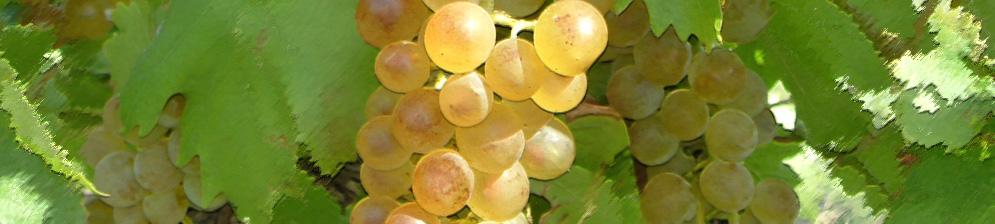 Спелая гроздь винограда сорта Бианка