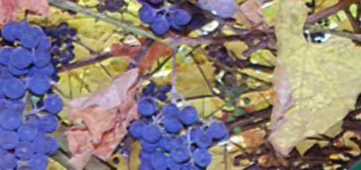 Спелые плоды винограда сорта Альфа