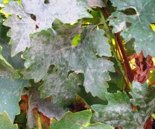 Лист винограда с признаками поражения оидиумом