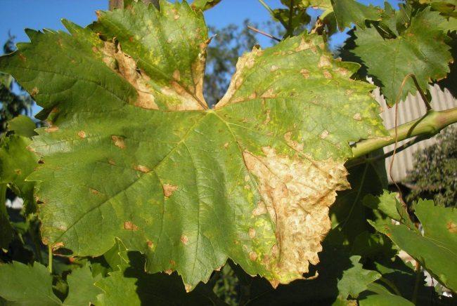 Лист столового винограда гибридного сорта с засыхающими краями