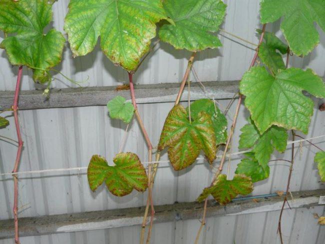 Больные листья плодового винограда на фоне забора из профилированного листа
