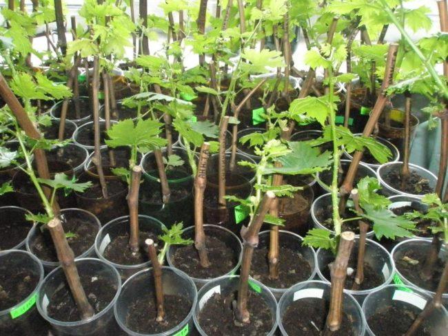 Саженцы столового винограда с зелеными ростками в пластиковых контейнерах