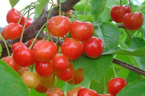Внешний вид ягод черешни Брянская Розовая, относящейся к группе бигарро