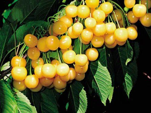 Ветка черешни сорта Чермашная с плодами светло-желтого окраса