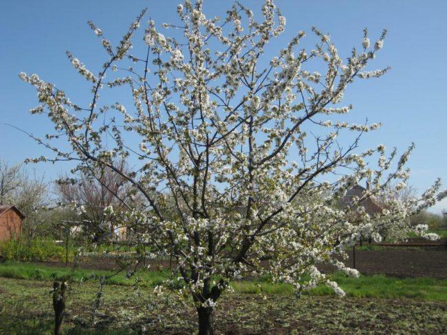 Взрослый куст морозостойкой черешни ранней весной время цветения