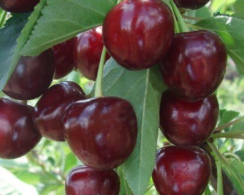 Крупные ягоды черешни сорта Данна