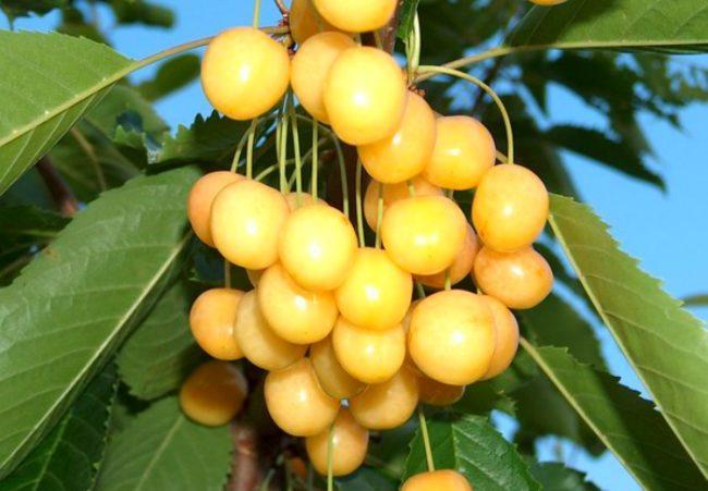 Янтарно-желтые ягоды черешни десертного сорта Дрогана Желтая