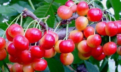 Ягоды черешни сорта Фатёж желто-розового цвета