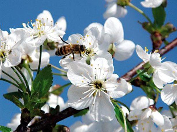 Цветки черешни сорта Ипуть среднераннего срока созревания и пчела