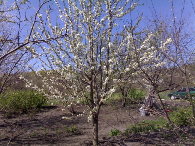 Обильное цветение куста черешни сорта Ипуть в начале мая