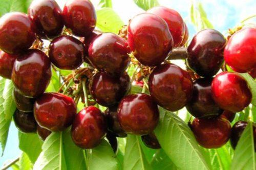 Ягоды красноплодной черешни сорта Придонская