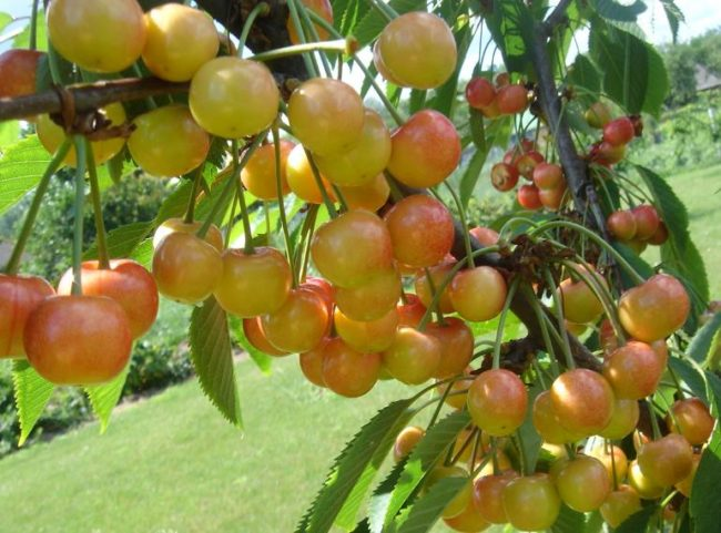 Ветка черешни с созревающими ягодами сорта Приусадебная Желтая